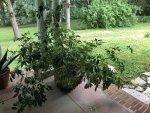 umbrella tree.jpg