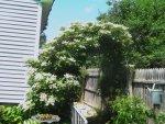 Back yard 2015 018.JPG