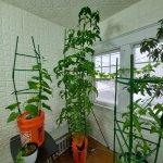 buffalogrowingplants.com tall tomato plant.jpg